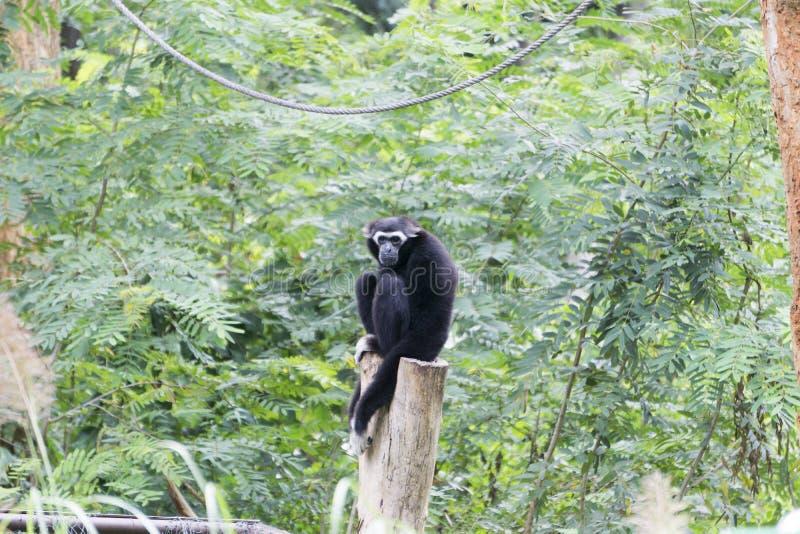 Gibbon est se reposer isolé images libres de droits