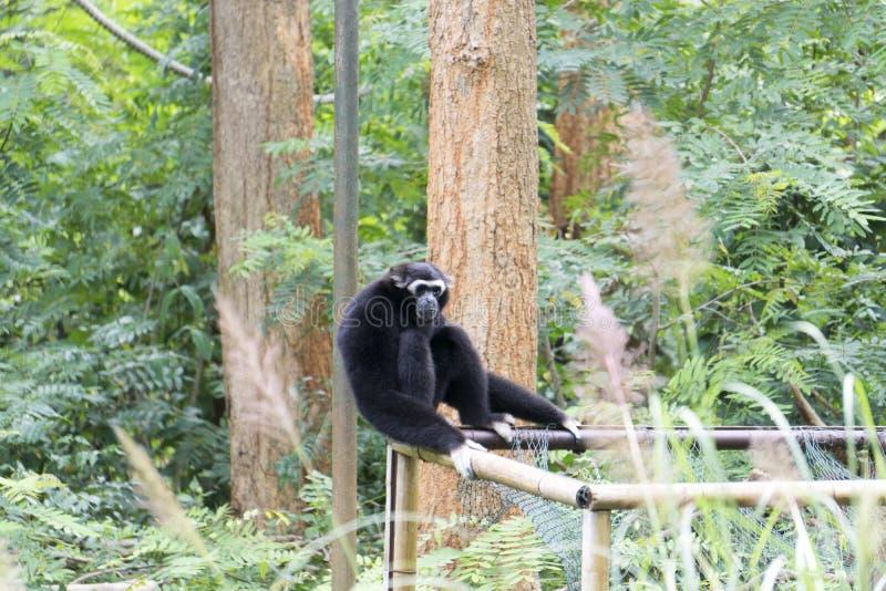 Gibbon est se reposer isolé image stock