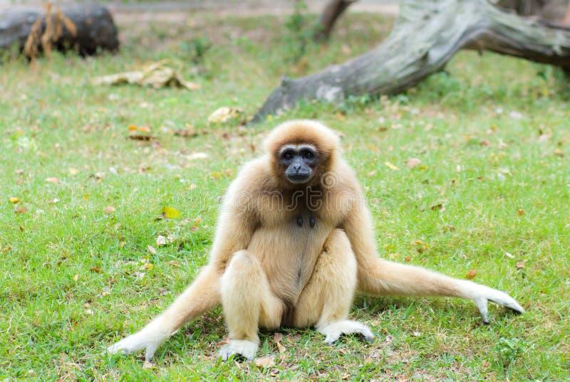 Gibbon fêmea fotos de stock royalty free
