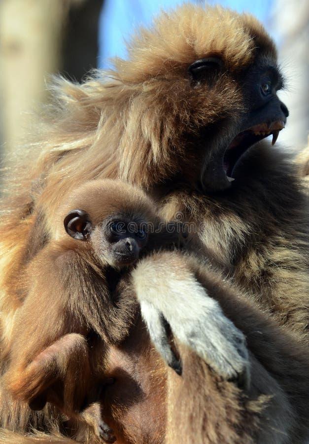 Gibbon fêmea com bebê imagem de stock royalty free