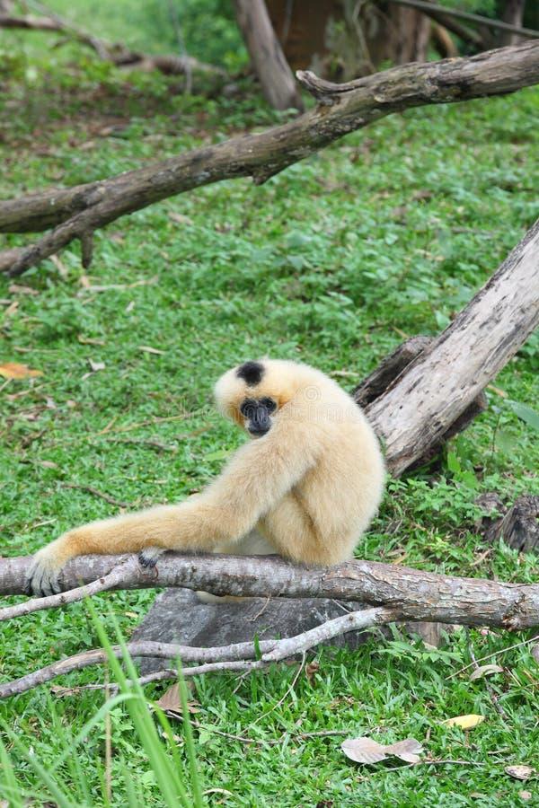 Gibbon fêmea do Lar no jardim zoológico imagens de stock