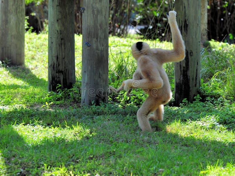 Gibbon fêmea que guarda o bebê foto de stock royalty free