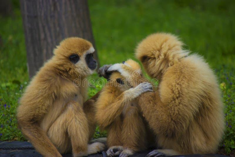 Gibbon family royalty free stock photo
