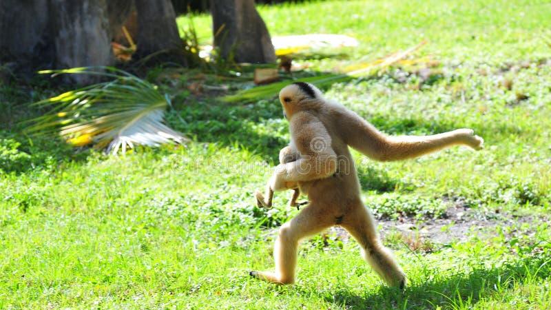 Gibbon femenino que corre con el bebé fotografía de archivo libre de regalías