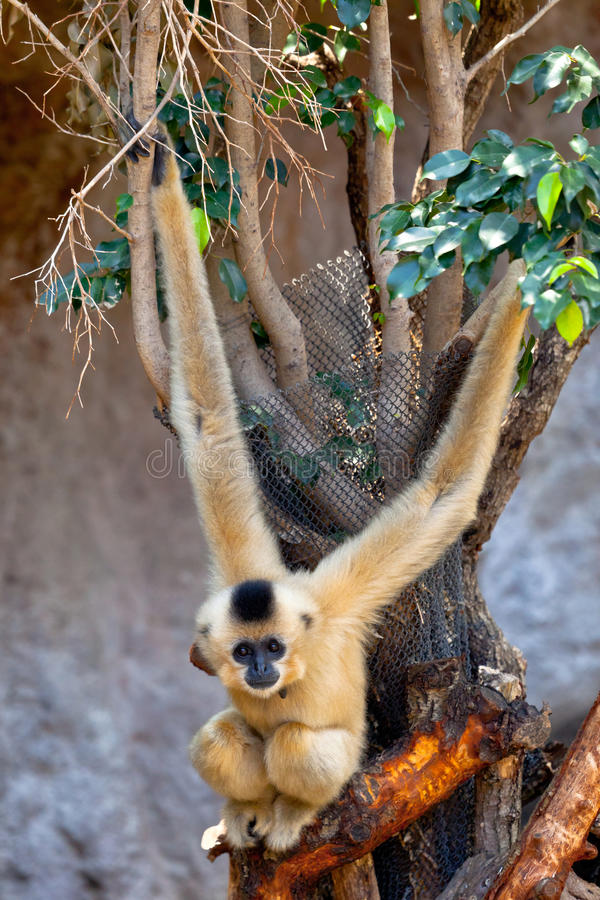 Gibbon of golden cheeks, Nomascus gabriellae royalty free stock photos