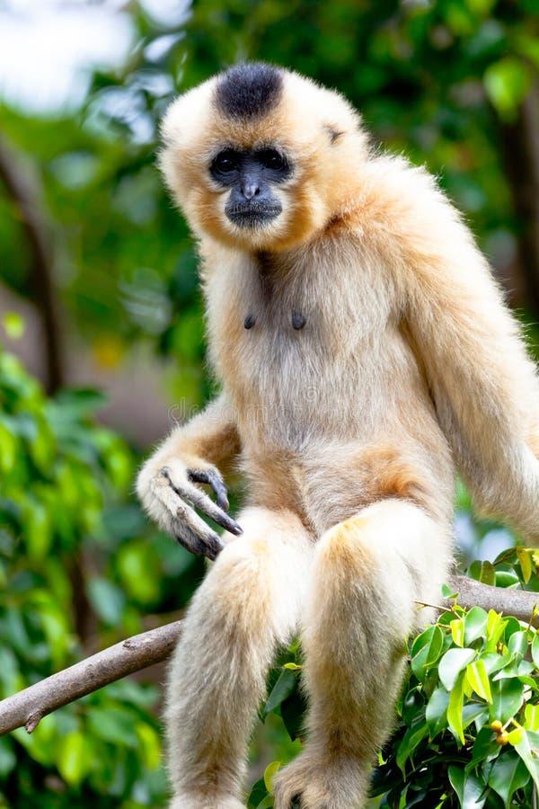 Gibbon of golden cheeks, Nomascus gabriellae stock photo