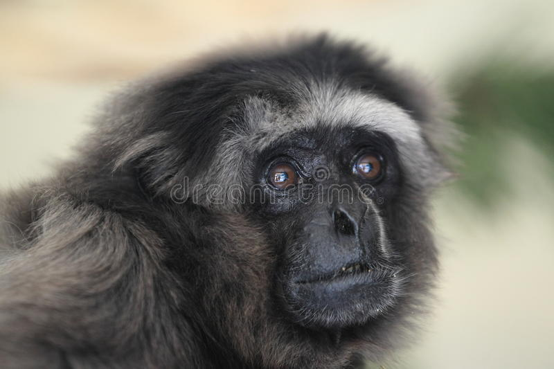 Gibbon gris images stock