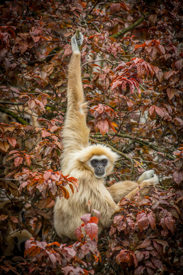 Gibbon hanging in tree stock images