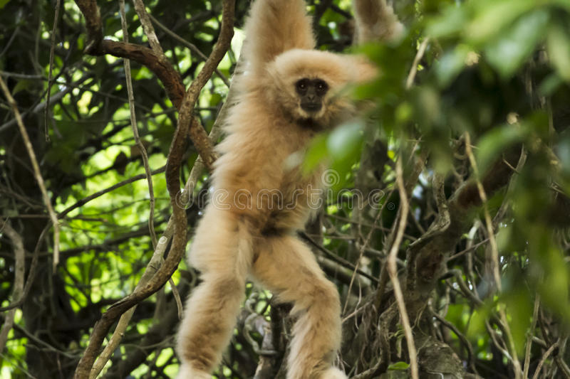 Gibbon hung. From a tree after a long swing exercise, Thungyai Naresuan Wildlife Sanctuaries, Thailand stock photography