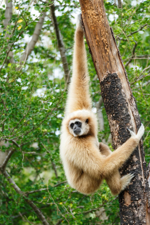 Gibbon (Hylobates lar) royalty free stock photos