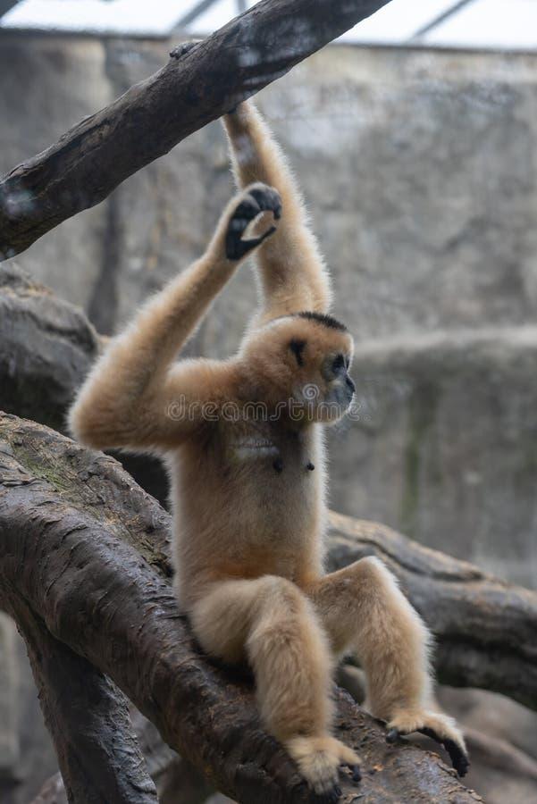 Gibbon-Hylobatidae arkivbild