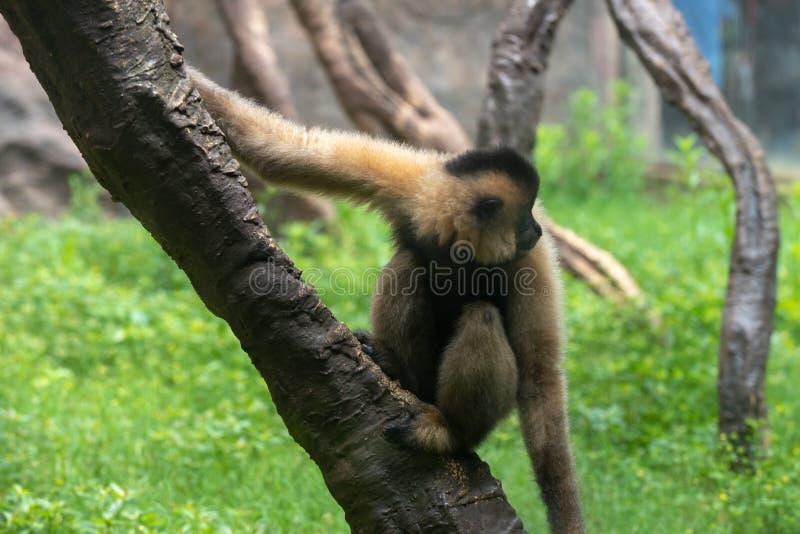 Gibbon-Hylobatidae fotografering för bildbyråer