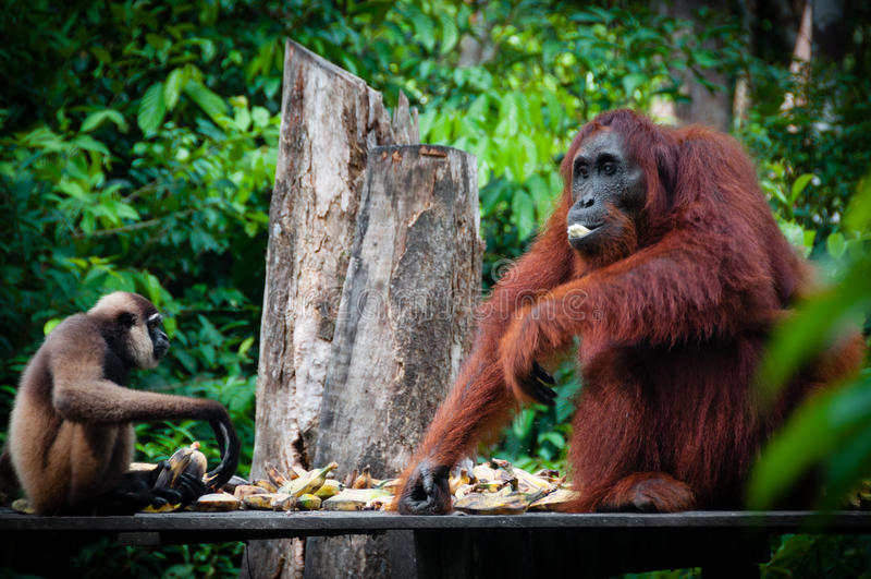 Gibbon i Orangutang siedzący jeść wpólnie obraz royalty free
