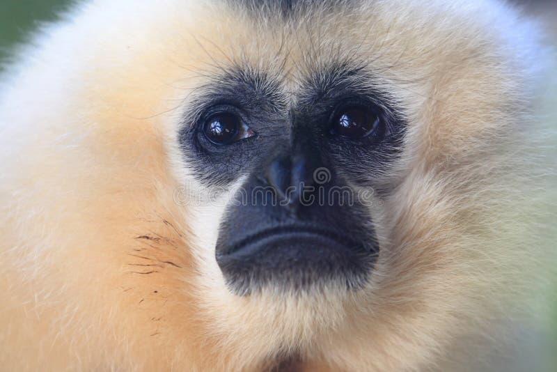 Gibbon jaune-cheeked image libre de droits