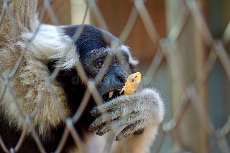 Gibbon klatka obrazy royalty free