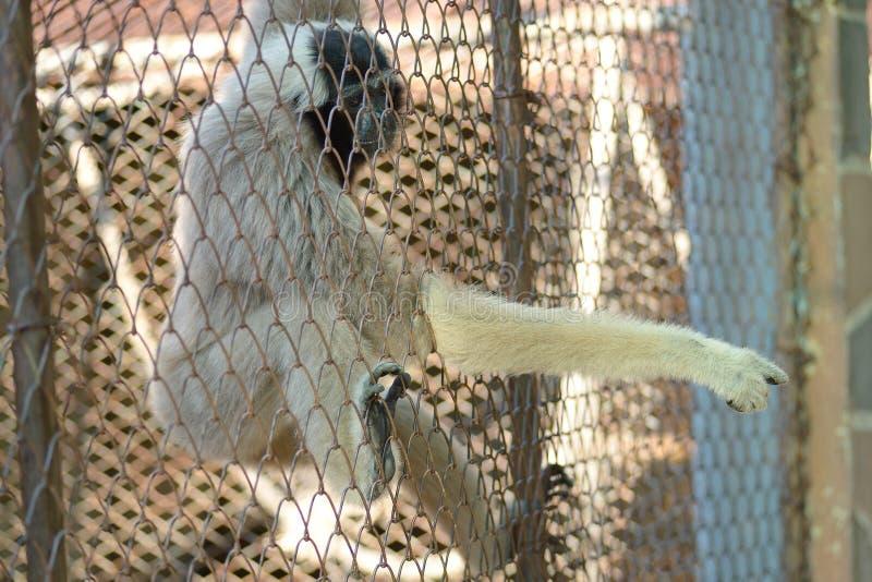 Gibbon klatka obraz stock