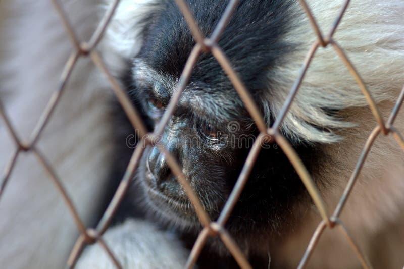 Gibbon klatka zdjęcie royalty free