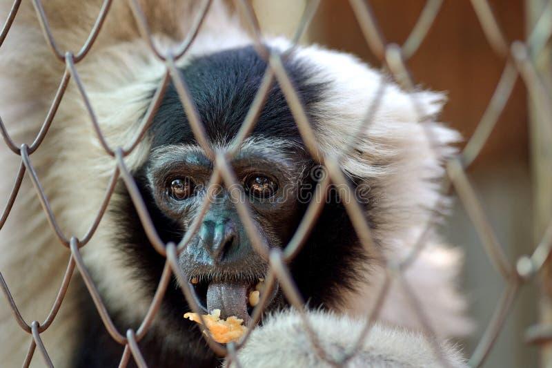 Gibbon klatka fotografia royalty free