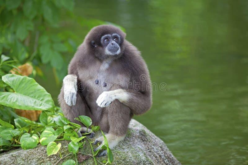 Gibbon małpa obraz royalty free