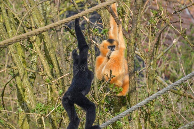 Gibbon małpa Z dzieckiem zdjęcia royalty free