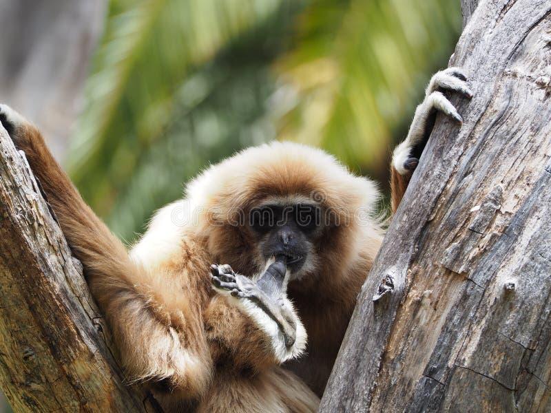 Gibbon, macaco do lar em uma árvore fotografia de stock royalty free