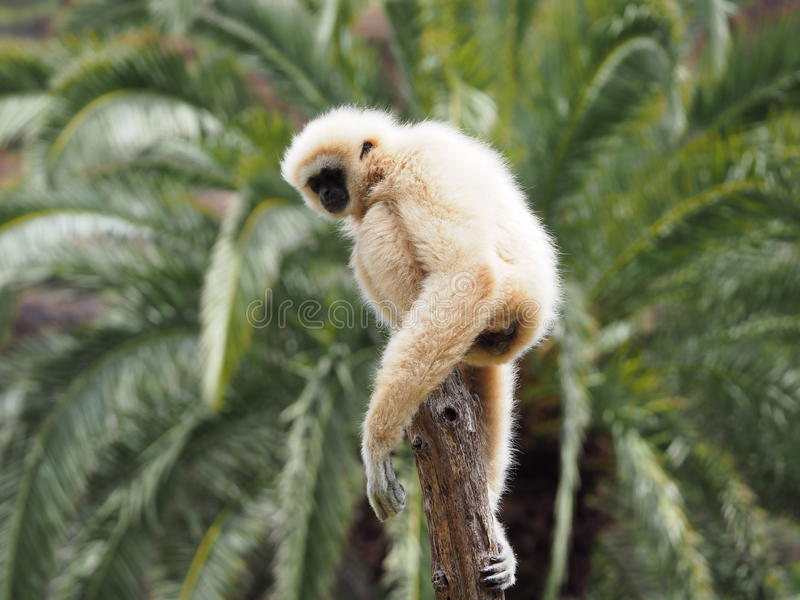 Gibbon, macaco do lar em uma árvore imagem de stock