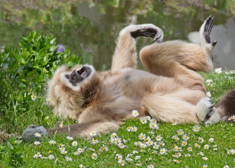 Gibbon masculino en campo en hierba verde fotos de archivo