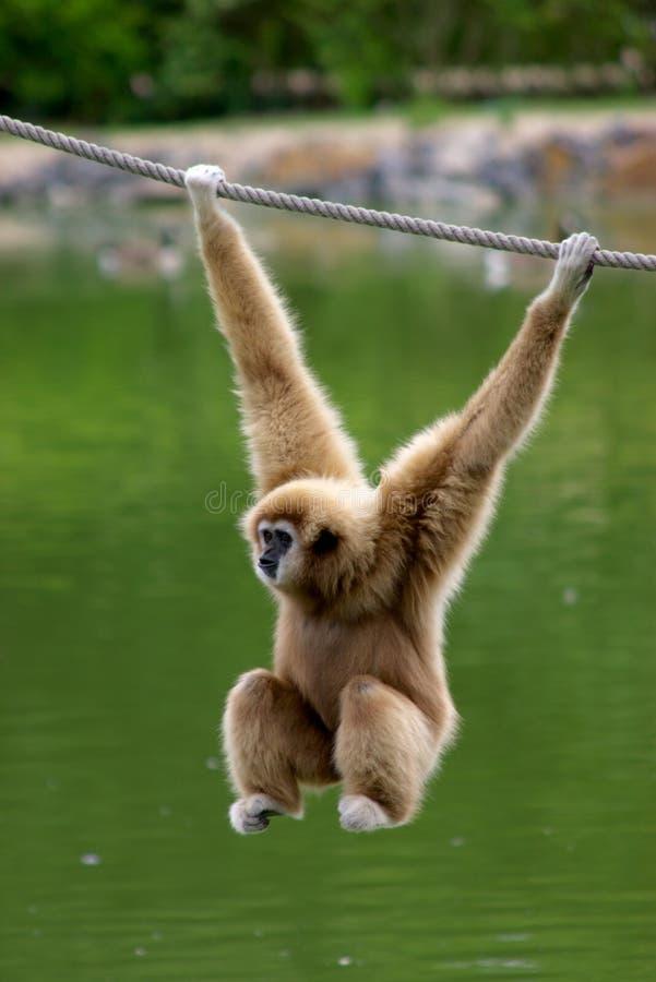 Free Gibbon Monkey Royalty Free Stock Image - 10406556