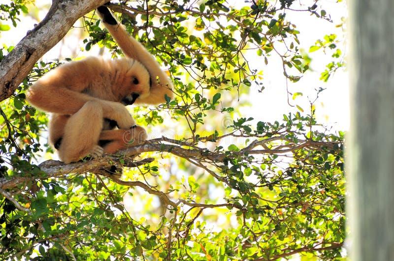 Gibbon monkey caressing her baby stock image