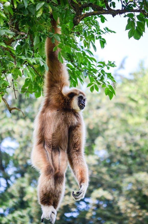Gibbon monkey royalty free stock photos