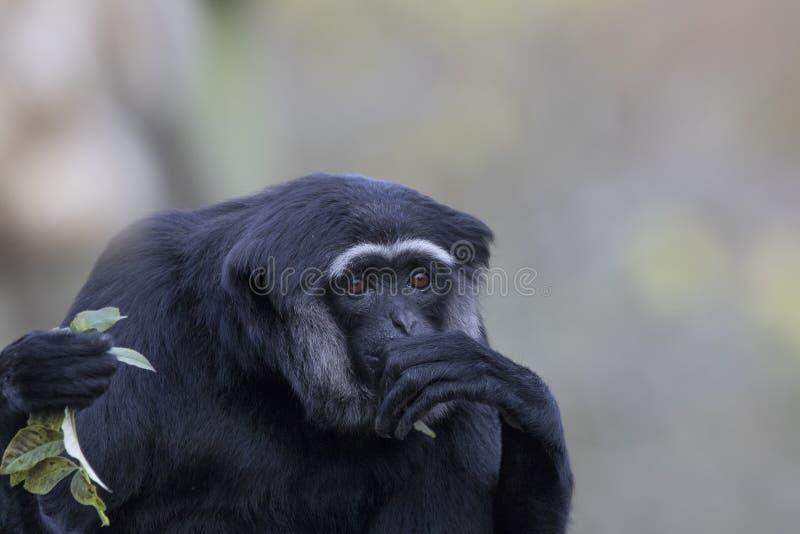 Gibbon monkey portrait royalty free stock images