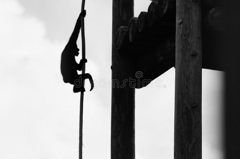 Gibbon monkey silhouette. Silhouette of a northern white-cheeked Gibbon monkey holding up to a rope in a South Florida zoo stock photos