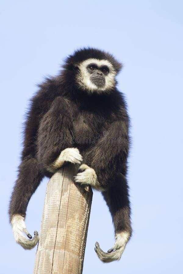 Gibbon. A Gibbon monkey sitting on a pole stock photography