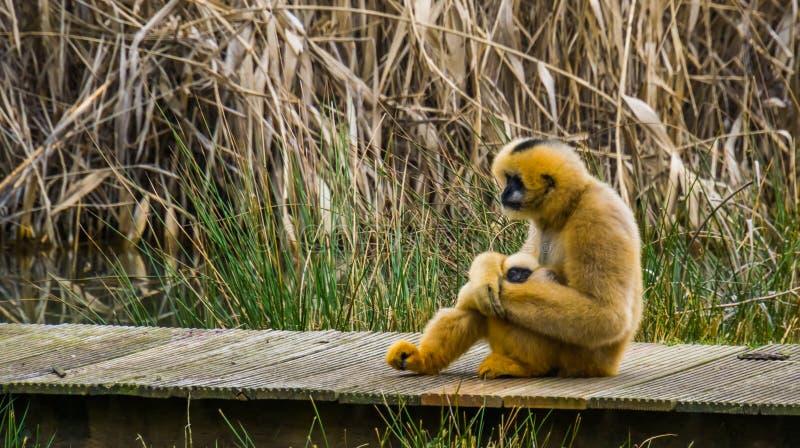 Gibbon-Mutter, die ihr neugeborenes Kind, Primas mit Babys hält lizenzfreie stockfotos