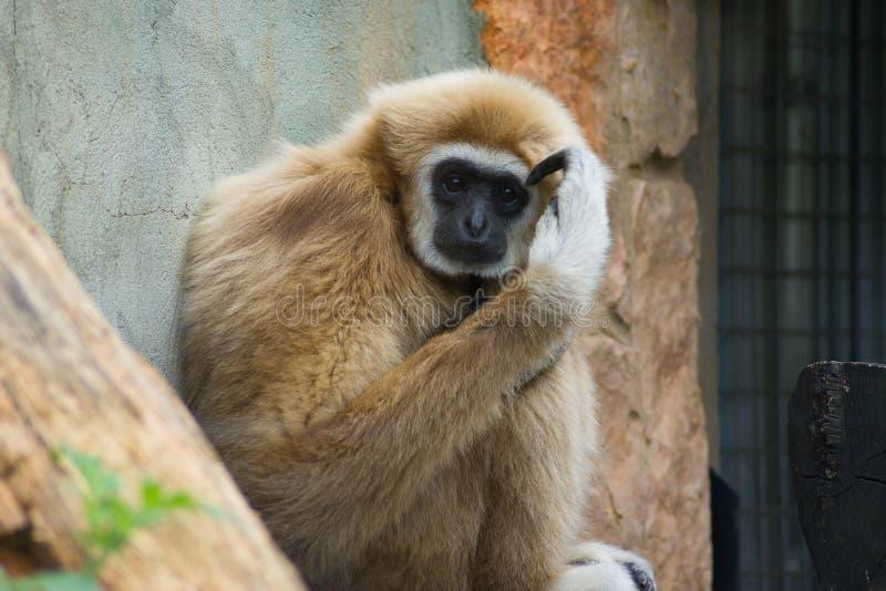 Gibbon myśl zdjęcie stock