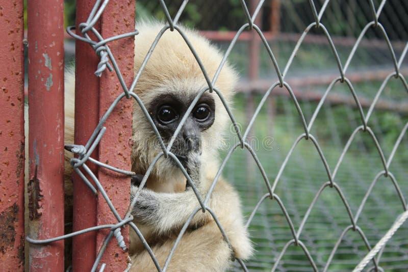 Gibbon na gaiola fotografia de stock