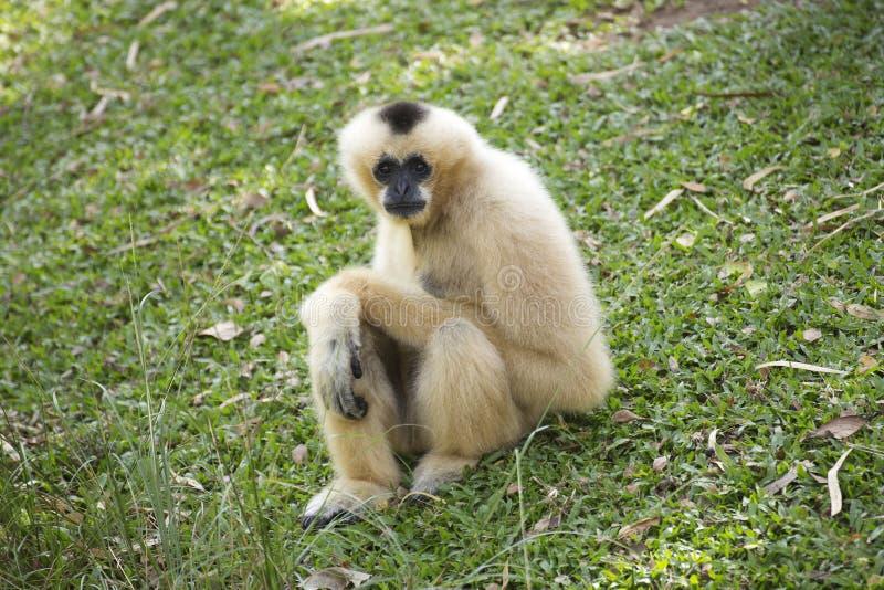 Gibbon na grama verde foto de stock royalty free