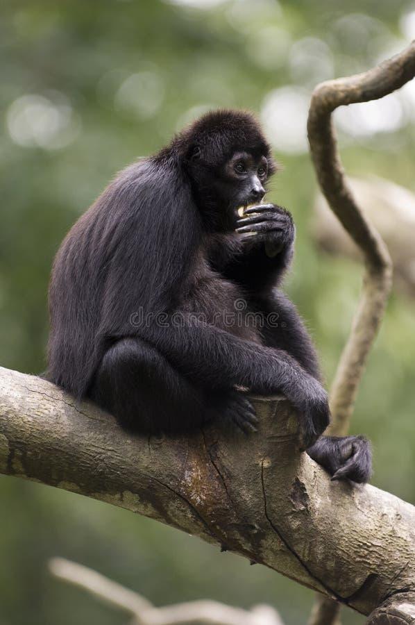Gibbon negro fotos de archivo