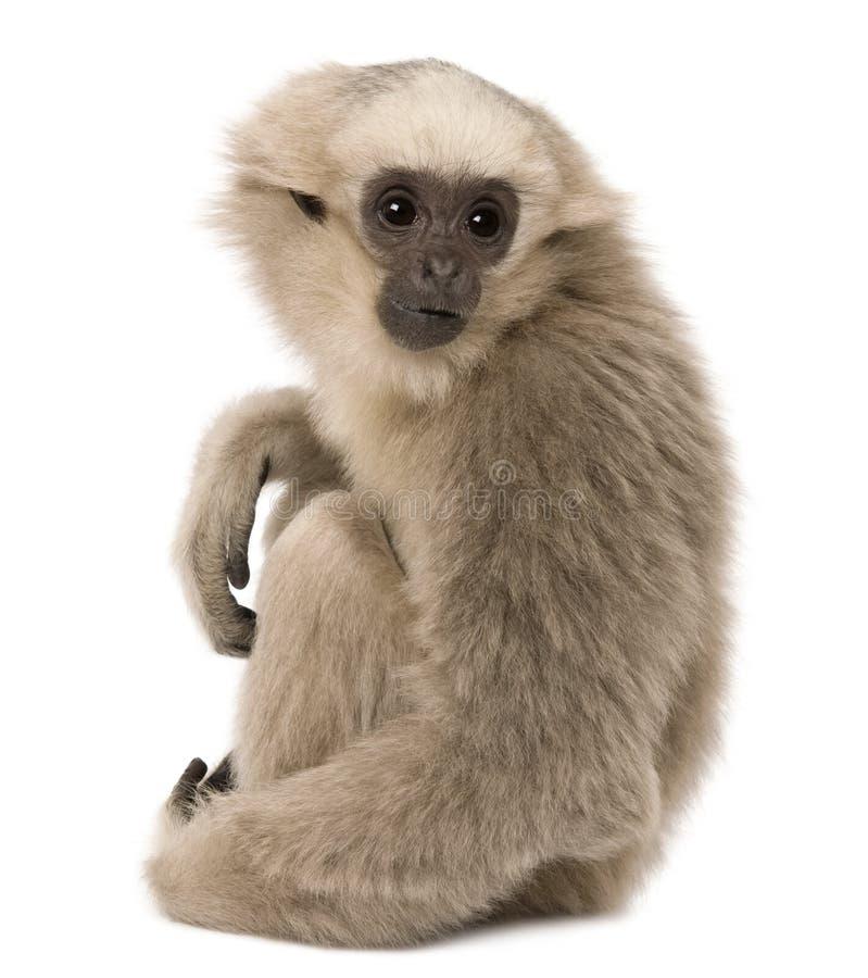 Gibbon novo de Pileated, 4 meses velho, sentando-se fotografia de stock