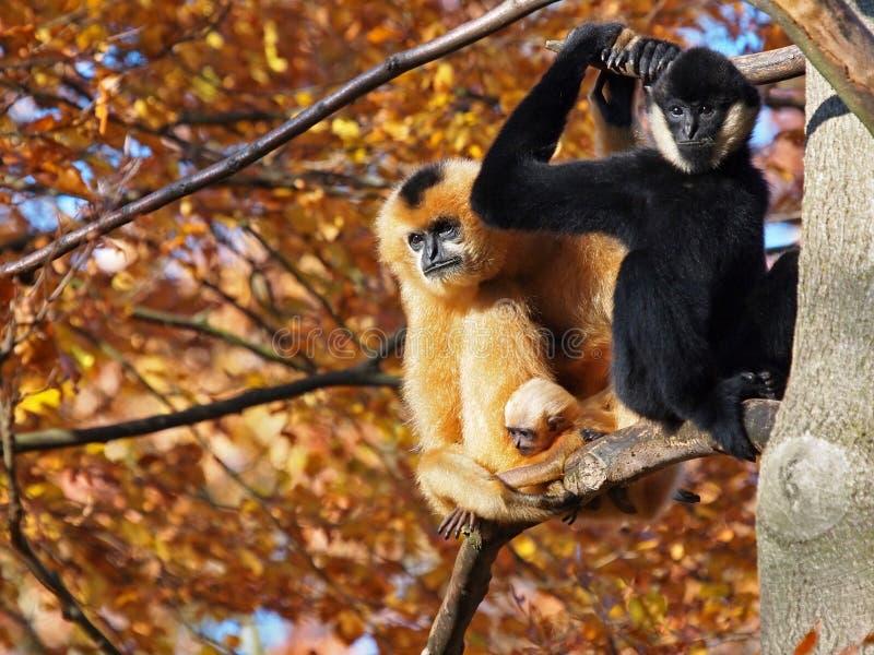 Gibbon-paar met kind stock fotografie