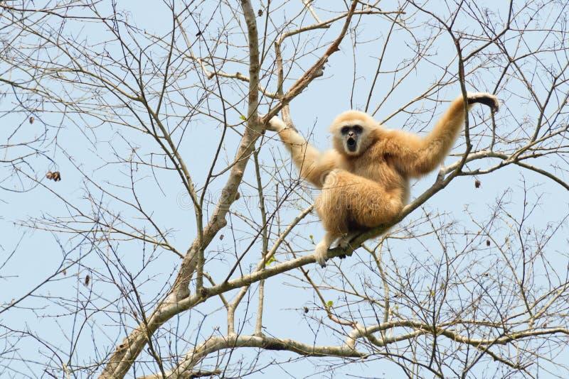 Gibbon passato bianco immagini stock
