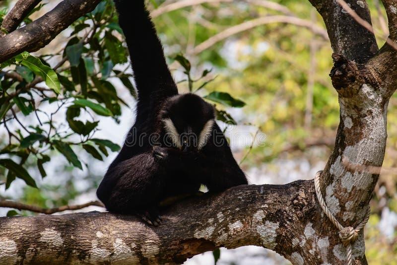 Gibbon pi?cie na drzewie obraz stock