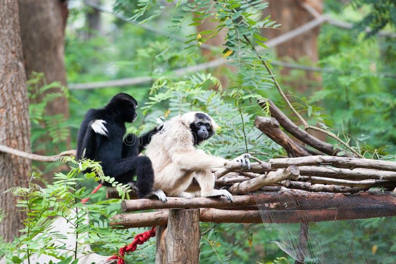 Gibbon Pileated стоковые изображения rf