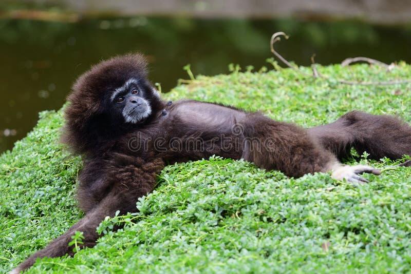 Gibbon-portret stock foto's