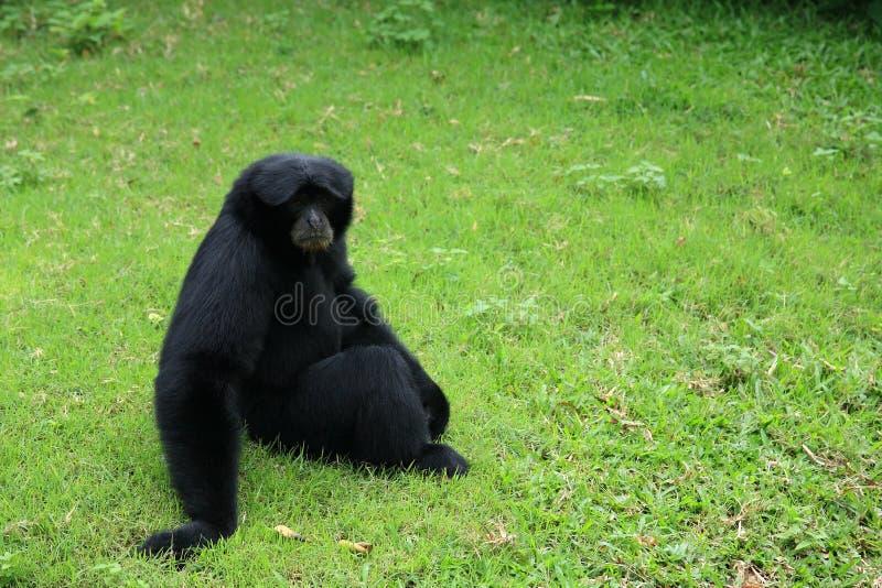 Gibbon preto de Siamang imagem de stock royalty free