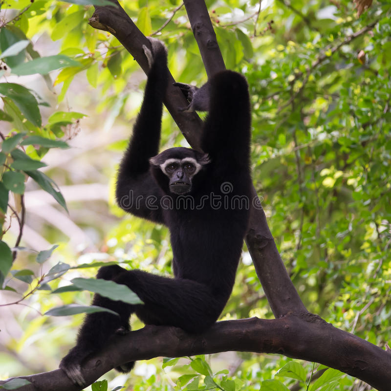 Gibbon preto (Gibbon branco-Cheeked) imagens de stock