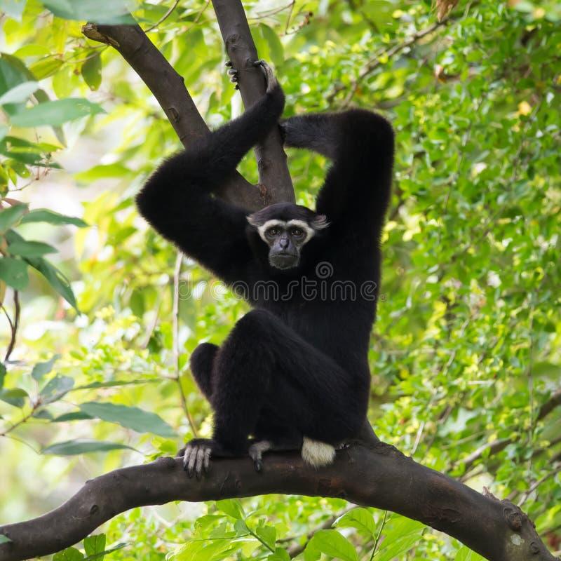 Gibbon preto (Gibbon branco-Cheeked) foto de stock royalty free