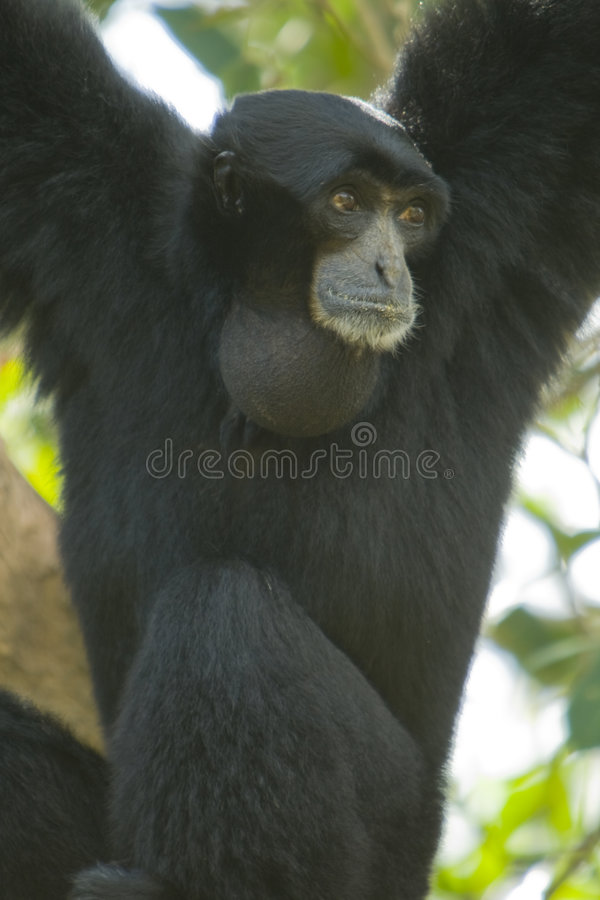 Gibbon preto na árvore fotografia de stock