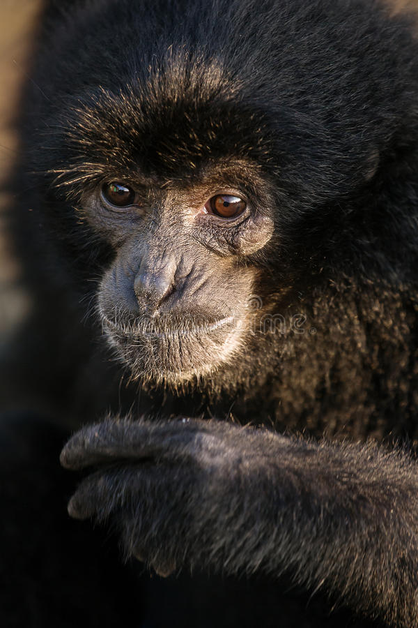 Gibbon preto nomeou o retrato de Botti, Bukkitingi, Sumatra fotos de stock