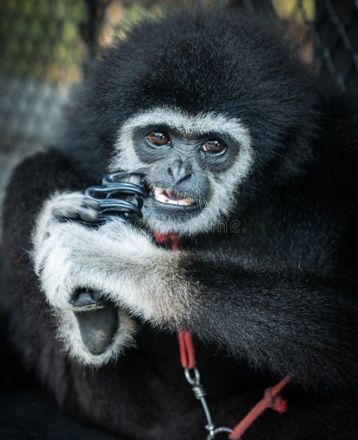 Gibbon preto pequeno, Koh Samui, Tailândia fotos de stock royalty free